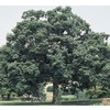 92.99-Gallon Chinquapin Oak (L5853)