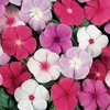 1.5-Gallon Temporary Container Red/White/Blue Vinca (LW00533)