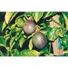 2.5-Quart Passion Fruit Small Fruit (L22752)