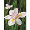 2-Gallon African Iris (L3155)