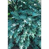 2-Gallon Xanadu Philodendron (L3335)