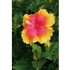 Garden Club Select 2-Gallon Bicolor Bahama Bay Enlightenment Hibiscus (LW03228)