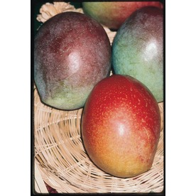  2-Gallon Mango (L7606)