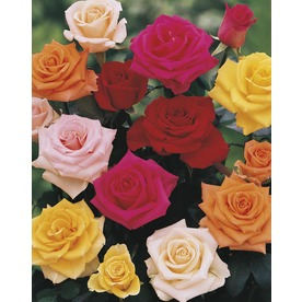 1.5-Gallon Bud and Bloom Rose (L10150)