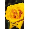  1.5-Gallon Grandma's Yellow Rose (LW02238)