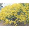 2.25-Gallon Yellow Desert Cassia Accent Shrub (L10717)