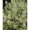 2.25-Gallon Lavender Lynn's Legacy Sage Flowering Shrub (L23608)