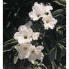 3.25-Gallon White Texas Olive Flowering Shrub (L22618)