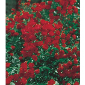 2.25-Gallon Red Lady Bank's Rose (LW03784)