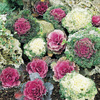 1 Quart(S) Ornamental Cabbage (Lbp003)
