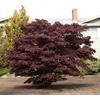 Monrovia 1.6-Gallon Bloodgood Japanese Maple