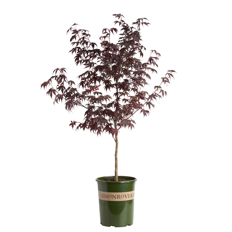 shop monrovia bloodgood japanese maple at
