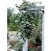Monrovia 3.6 Gallon- Kiwi Vine (Male)