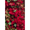 Monrovia 3.6 Gallon- Boston Ivy