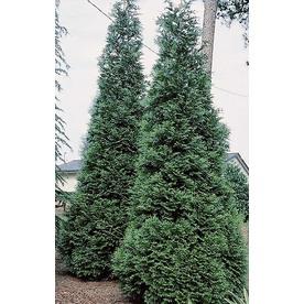 Monrovia 3.58-Gallon Green Giant Western Arborvitae Screening Shrub
