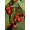 Monrovia 3.58-Gallon Violet Sawtoothed Japanese Aucuba Flowering Shrub