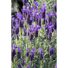 Monrovia 3-Quart Winter Bee Spanish Lavender (P20840)