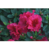 Monrovia 2.6-Quart Red Red Ruffles Azalea Flowering Shrub