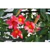 Monrovia 3.6-Gallon Scarlet Trumpet Vine