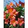 Monrovia 3.6 Gallon- Tangerine Beauty Crossvine