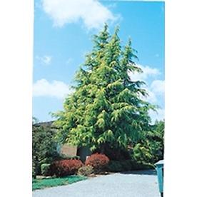 Monrovia 3 58 gallon insignificant golden deodar cedar
