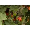 Monrovia 1-Gallon Orange Cascade Dawn Flowering Maple Flowering Shrub