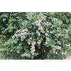 Monrovia 1.6-Gallon White Bountiful Blue Blueberry