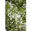 Monrovia 1.6-Gallon White Dwarf Nikko Deutzia Flowering Shrub