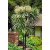 Monrovia 2.6-Quart White Blue Dracaena Palm Flowering Shrub