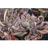 Monrovia 1-Gallon Painted Echeveria