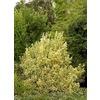 Monrovia 1.6-Gallon Insignificant Silver King Euonymus