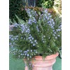 Monrovia 2.6-Quart Blue Roman Beauty Rosemary P18192
