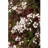Monrovia 3.6-Gallon Pink Jasmine