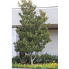 Monrovia 3.58-Gallon Dwarf Southern Magnolia