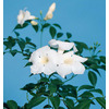 Monrovia 3.6 Gallon- White Bower Vine