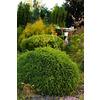 Monrovia 1.6-Gallon Flowers Little Gem Norway Spruce