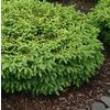 Monrovia 1.6-Gallon Nest Spruce Foundation/Hedge Shrub