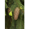 Monrovia 3.58-Gallon Weeping Norway Spruce