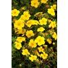 Monrovia 1.6-Gallon Yellow Gold Star Potentilla Flowering Shrub