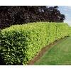 Monrovia 3.58-Gallon White English Laurel Flowering Shrub