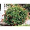 Monrovia 1.6-Gallon Red Dwarf Pomegranate