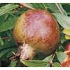 Monrovia 2.6-Quart Pomegranate Tree (L7402)