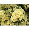 Monrovia 3.58-Gallon in Pot (with Soil) Yellow Lady Banks Rose