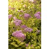 Monrovia 2.6-Quart Pink Limemound Spirea Flowering Shrub