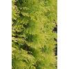 Monrovia 3.58-Gallon Yellow Ribbon Arborvitae Screening Shrub