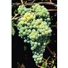 Monrovia 3 Quart- Himrod Grape