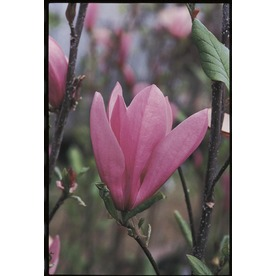 3.25-Gallon Jane Magnolia (L1160)