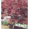  2.25-Gallon Red Japanese Maple (L3165)