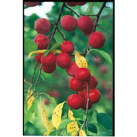 3.25-Gallon Bush Cherry Small Fruit (L14538)