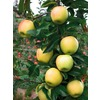 3.25-Gallon Anna Apple (L3840)